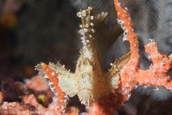 BD-161024-Pura-2594-Taenianotus-triacanthus.-Lacepède.-1802-[Leaf-scorpionfish].jpg
